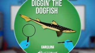 VR Dogfish Dissection: Diggin' the Dogfish (itch)