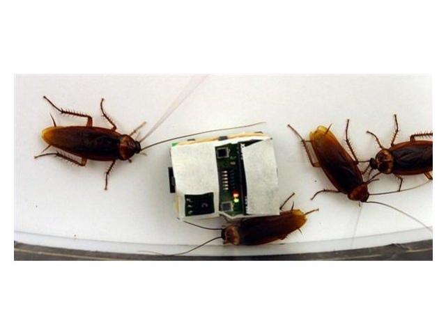 Робо-таракан обманывает насекомых